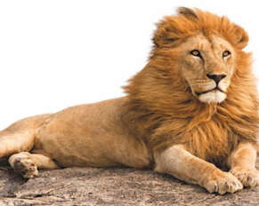 Corona is positive for 9 lions .. A female lion named Neela died with Corona ..