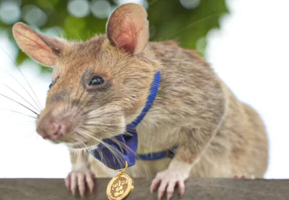 A hero named Magawa retires from his job as a rat land miner.